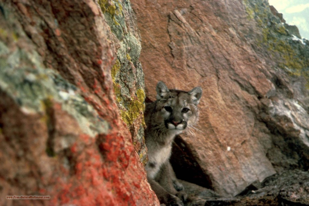 Mountain Lion Looking out from Rocks