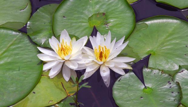 Callaway waterlilies