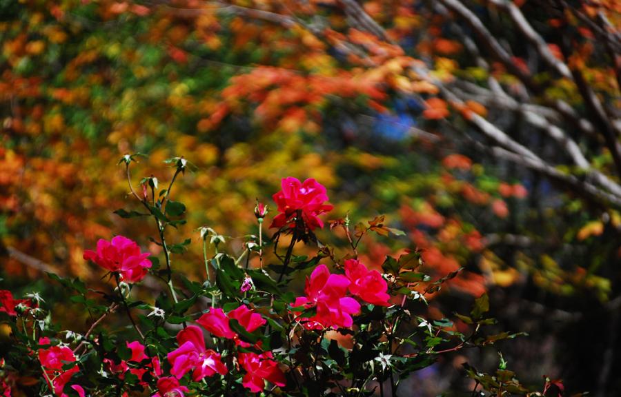 Roses in Fall