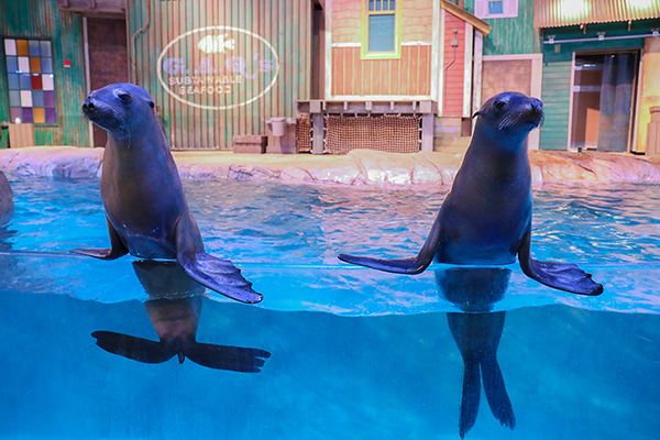 Saffy and Peaches Sea Lions at the Georgia Aquarium